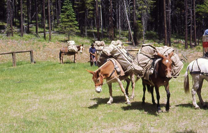 A small string of loaded pack mules, standing near a tether post, along the edge of a forest.