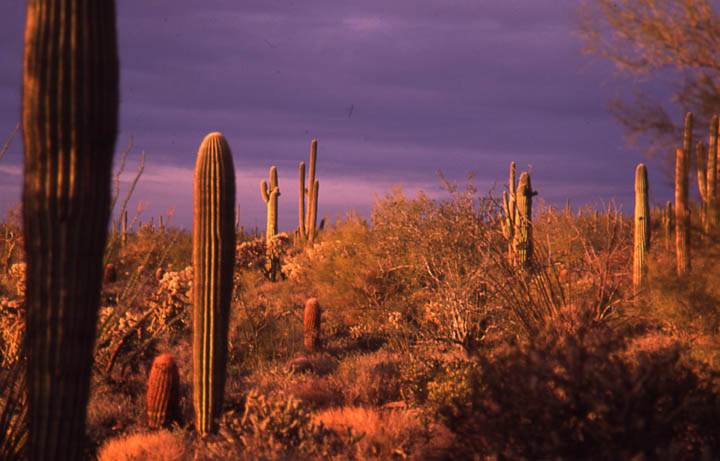 A desert landscape of tall cactus surrounded by low bushes and shrubs, bathed in warm evening light against a deep purple cloudy sky.