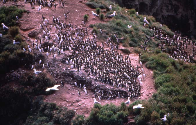 A large colony of black and white seabirds, along the coast.
