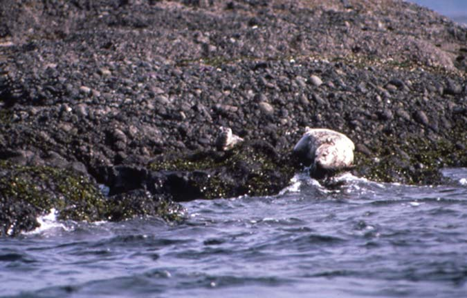 A mother seal and her pup, sunning themselves on the dark rocks along the waters edge.