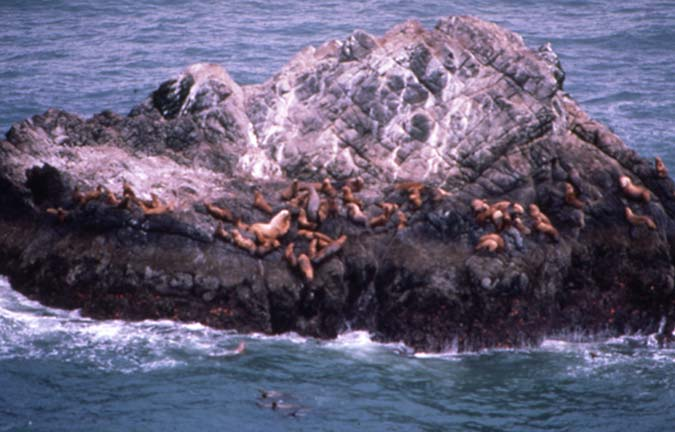 A large group of Sea Lions gathered along the edge of a large rock outcropping, surrounded by green water.