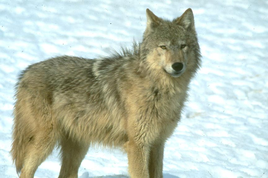 A close-up of a large gray wolf, on a background of snow.