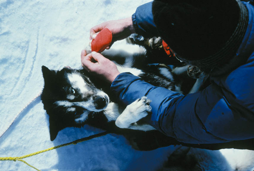 A man putting small booties onto a dog, sitting on the snow.