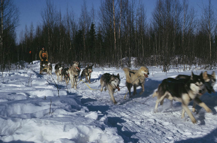 A team of dogs pulling a man on a sled along a narrow trail, through the snow covered forest.