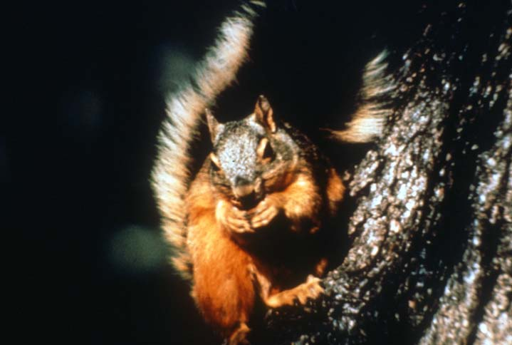 A close-up of an orange squirrel, feeding perched on the trunk of a large tree.