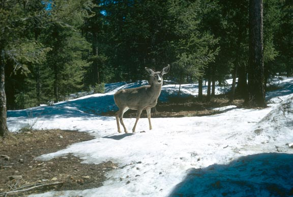Single Mule Deer standing on a patch of snow, surrounded by forest trees.