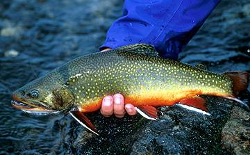 A close-up of a vividly colored orange and green trout held with one hand near the water.