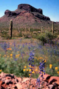 A field of blue and yellow wildflowers mixed with cactus, stretching off to the base of a high desert knob.
