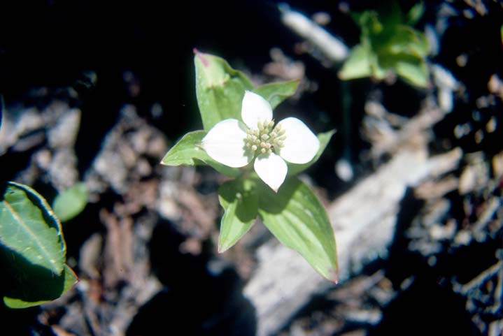 A close-up of a small white flower with four petals, against a background of dark shadow.
