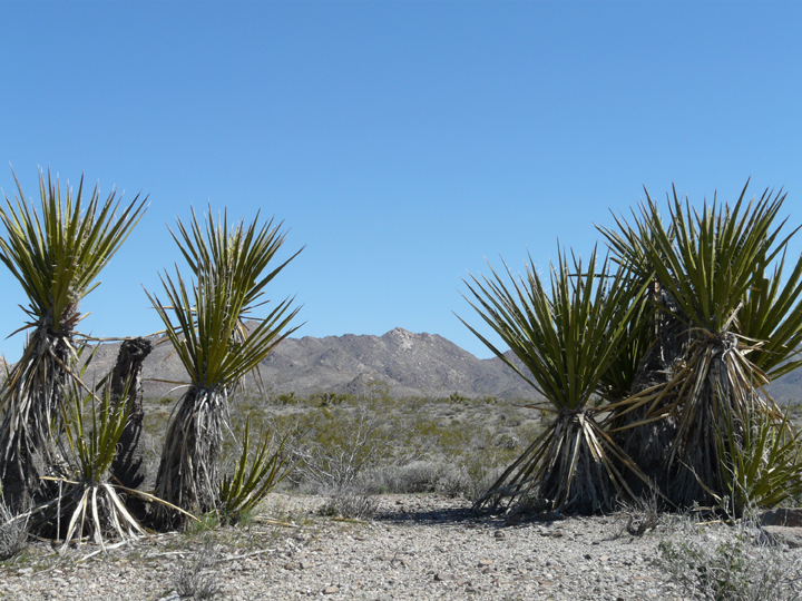 A groub of large plants with sword-like leaves grow in the desert.