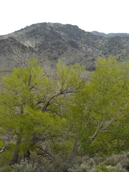 The grey background of the desert is almost blown away by the bright green trees in the foreground.
