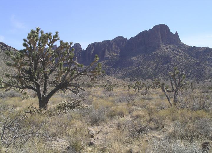 Joshua trees dot the desert beneath a mountain's watchful eye.