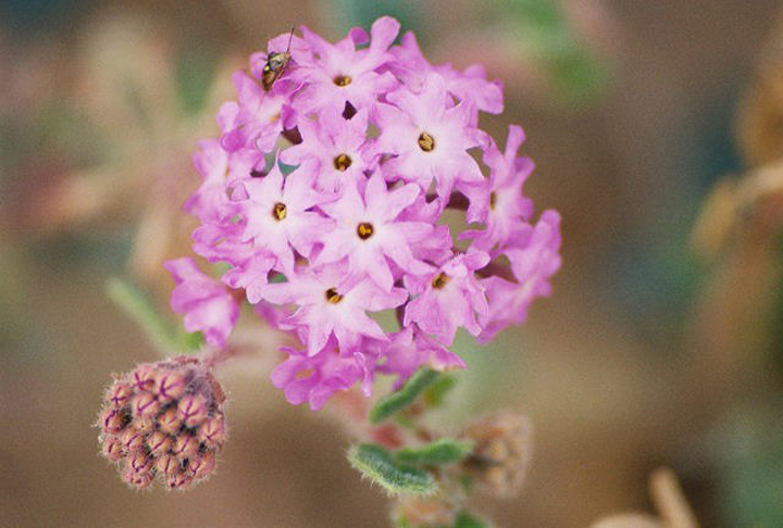 A brilliant pink flower is the focus.  An unbloomed portion is right alongside.
