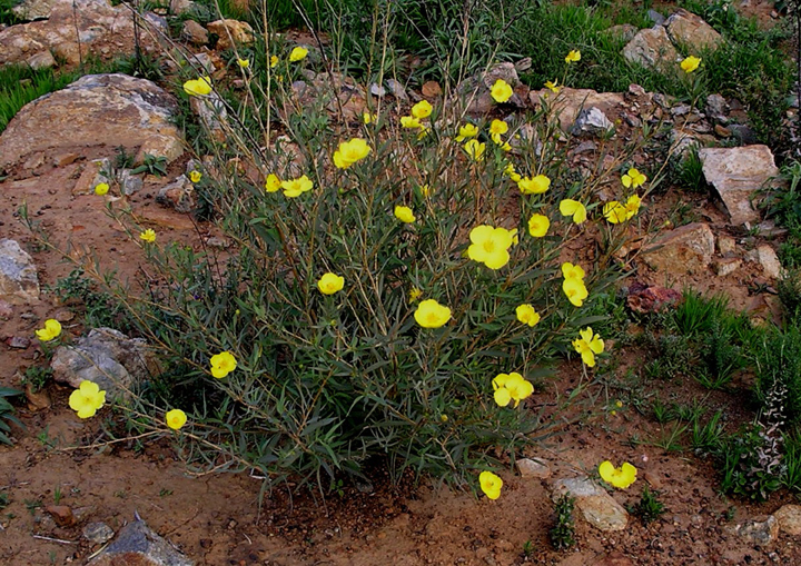A patch of small yellow flowers blooms in the red sand of a desert.