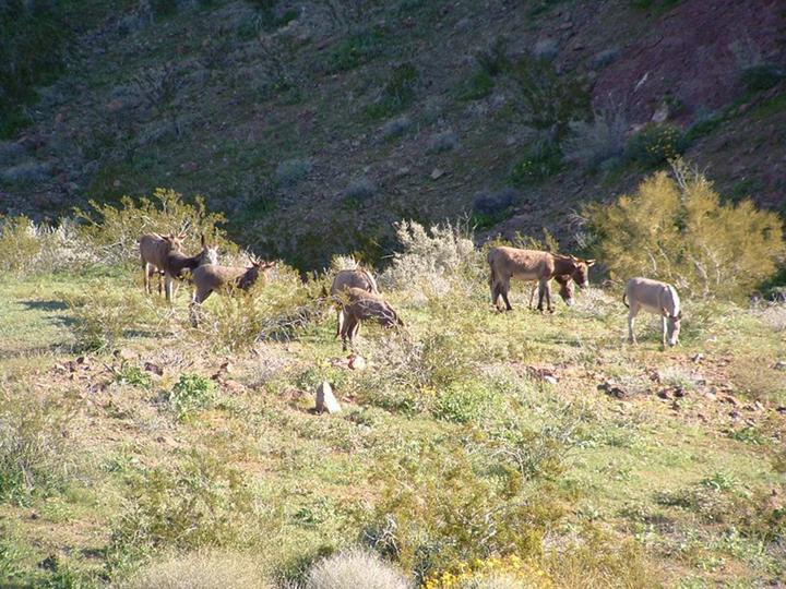 A herd of burros grazes a sunny ridge of arid brush.