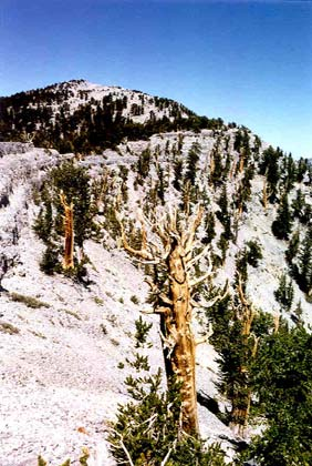 A harsh mountain forest scene, many weathered pine sprinkle the steep rocky hillside to the summet, under an empty blue sky.