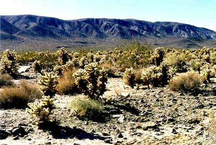 An open desert valley filled with dense cactus and small brush, stretching off to a low mountian range in the distance.