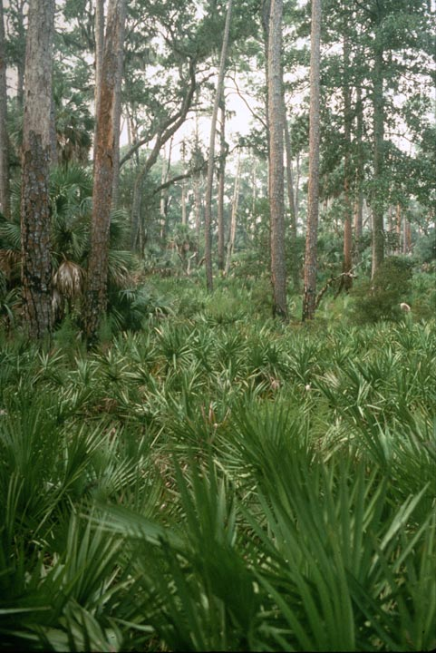 An open forest, the ground covered in dense green fronds.