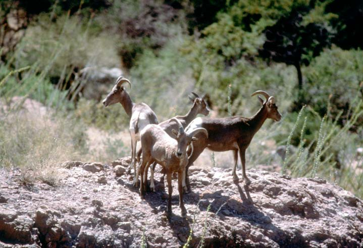 A small group of four bighorn sheep, standing on a large rock outcropping, above the forest below.