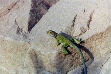 A bright green lizard sunning itself on a large gray boulder.