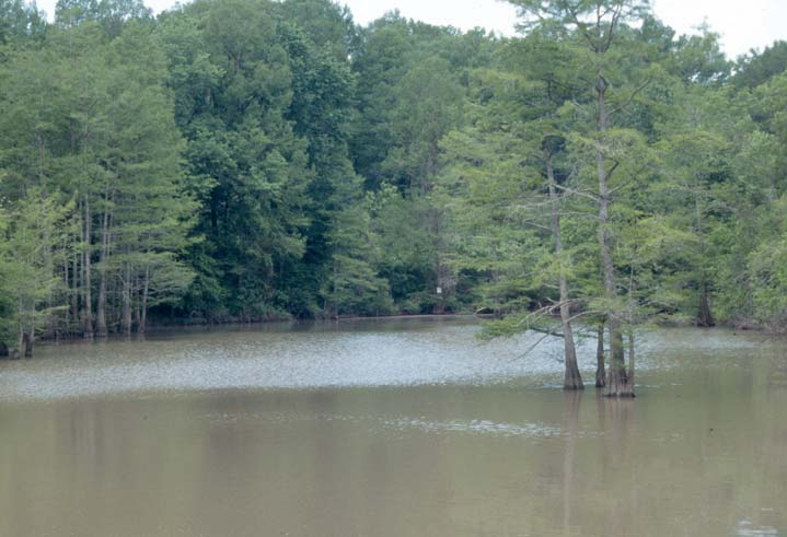 An open section of tall forest trees, flooded with muddy brown water.