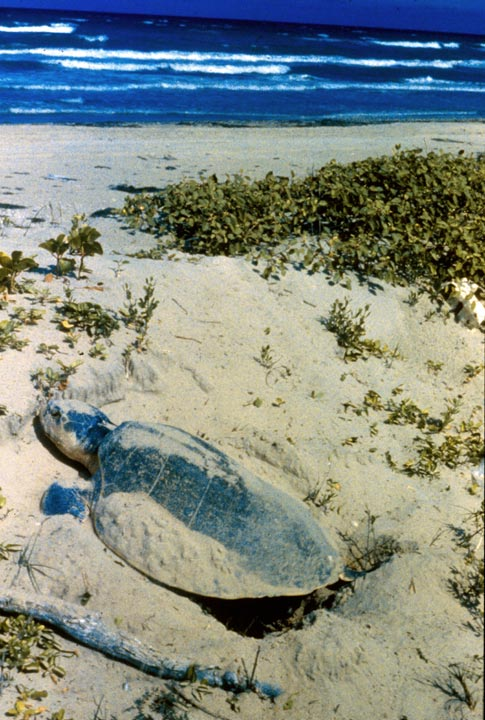 Nesting sea turtle on an Atlantic Ocean beach.