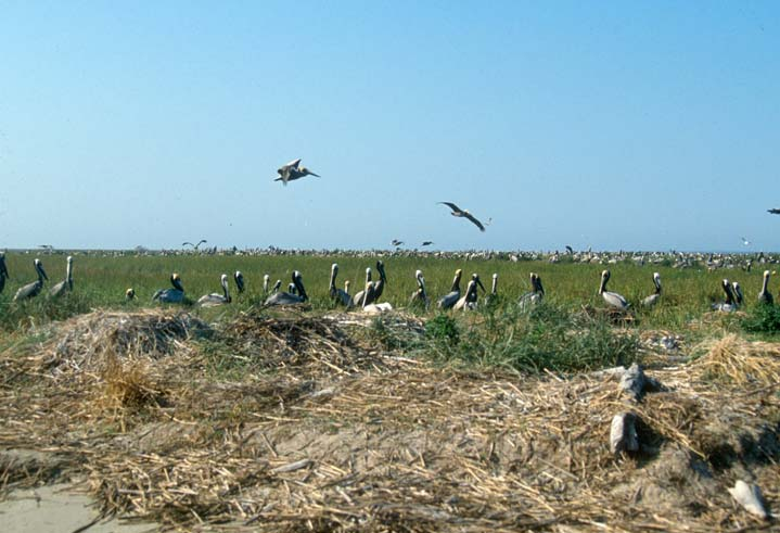 Looking out over a section of green marsh, dotted with hundreds of large brown pelicans.