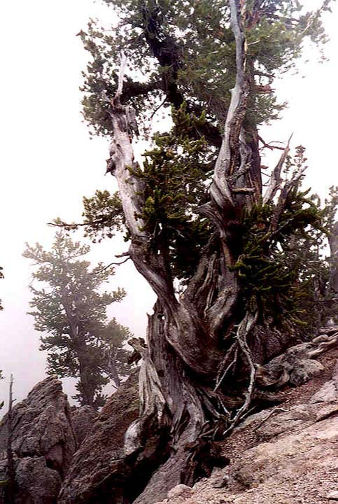 A large weathered pine growing from barren rock, surrounded in dense white mist.