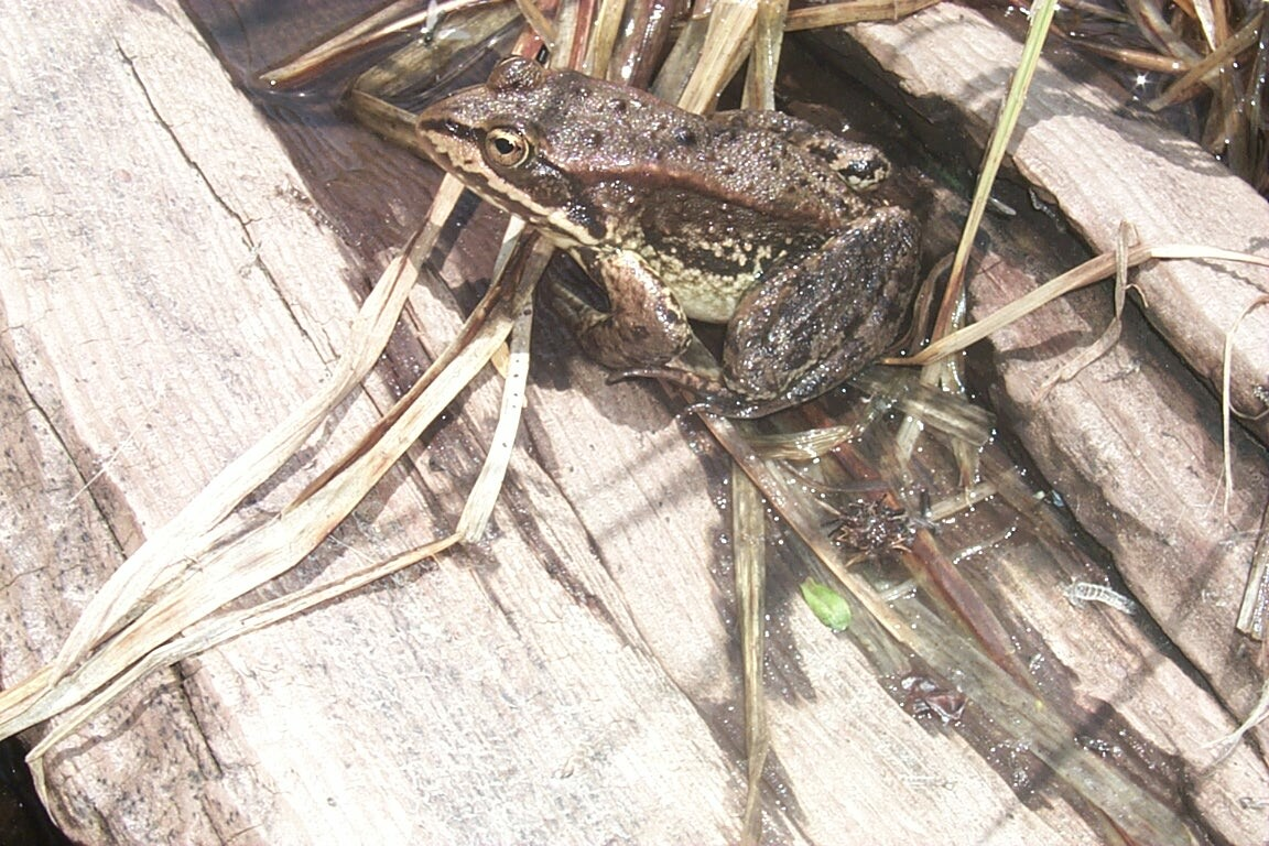 A close-up of a small brown frog, sitting on a weathered log covered in grass.