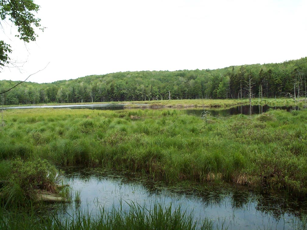 Looking over a large marshy pond, surrounded by dense forest.