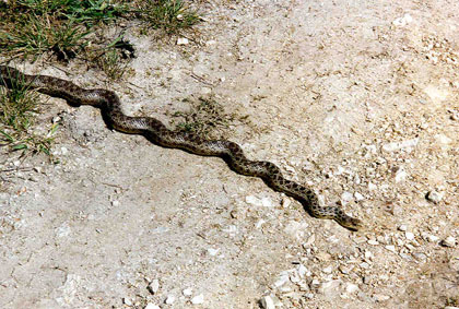 A large spotted snake, slithering across bare gray gravel along the grass.