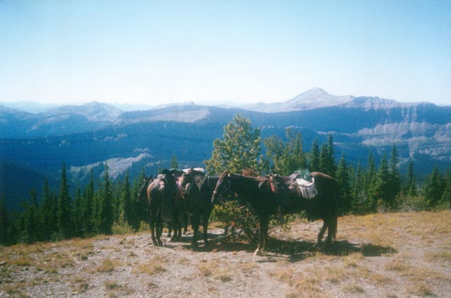 Three brown horses tethered to a small tree, stand above a high bluff overlooking a massive forest valley.