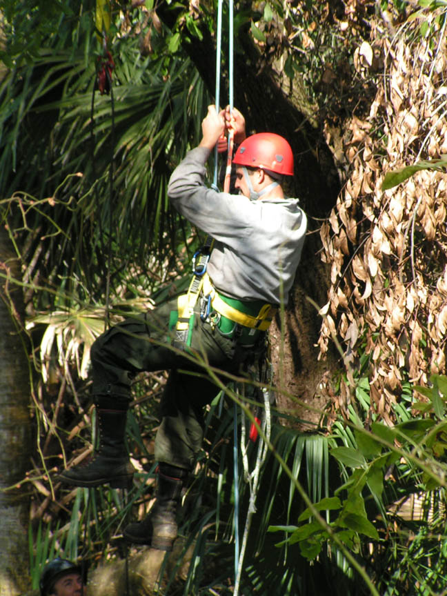 A worker in a red hard hat, repelling down from a tree.