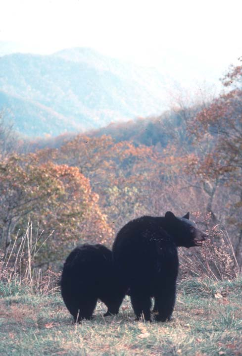 A sow black bear and her cub, surrounded by dense brush in orange fall color.