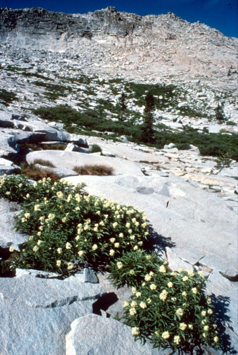 Small patches of white alpine flowers, growing in scaly alpine rock, below a high rock face.