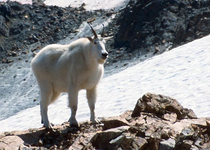 A close-up of a single white mountain goat, on a background of white snow and black rock.