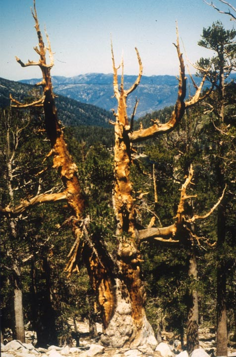 The weathered remains of a large pine, overlooking dense forest in the valley below.