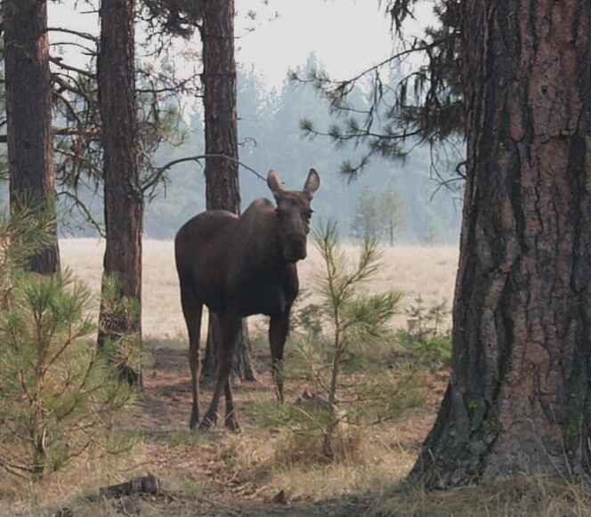A lone moose standing amid the trunks of large forest trees.