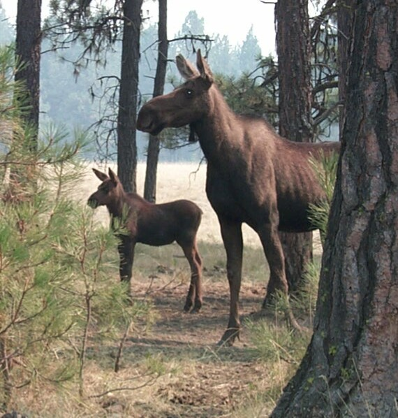 A large moose and her young calf, standing at alert, looking away into the forest.