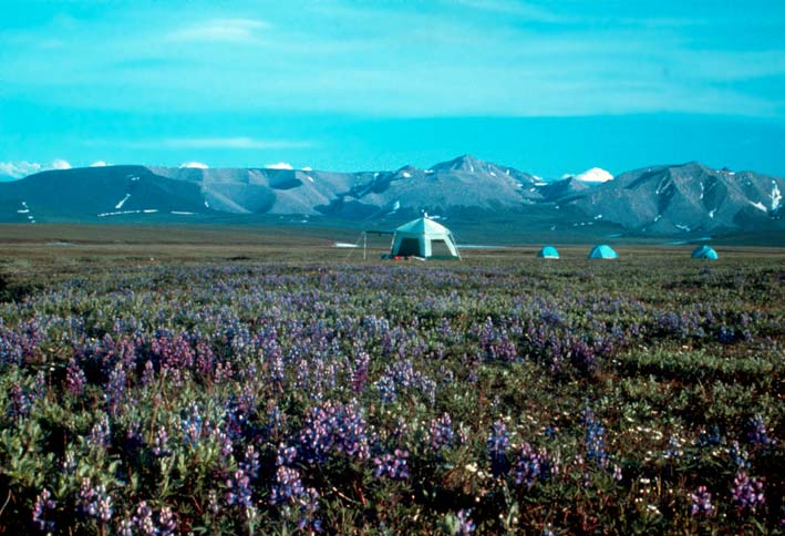 A small group of tents on the high arctic tundra, surrounded by purple wildflowers. Low mountains rise in the background, laced with snow.