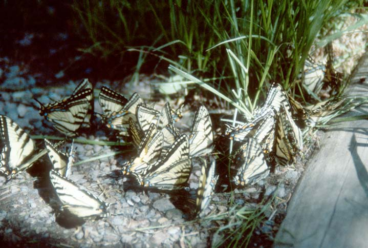 A close-up of a cluster of large yellow butterflies, striped with black.