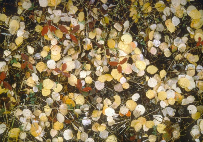 A close-up of the forest floor covered in yellow and red leaves, in full autumn color.