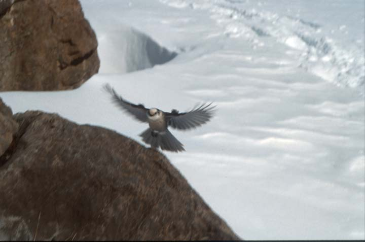 A gray jay landing on a large brown rock, surrounded by snow.