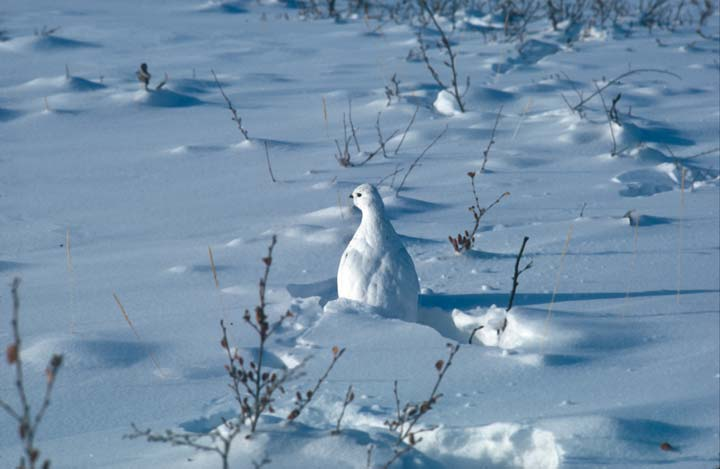A brilliant white grouse-like bird, almost invisible surrounded by pure snow.
