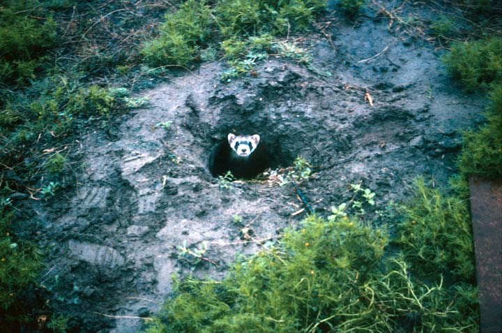 A ferret with a white masked face, poking its head out of a small burrow.