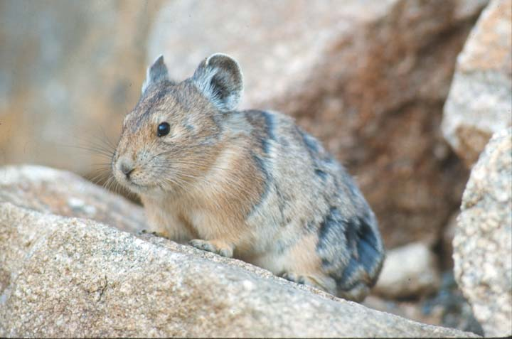 A close up of a small rabbit-like animal, sitting on a large rock.
