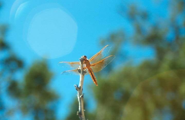 A close-up of a small red dragonfly perched on a stick, against a background of green leaves and blue sky.
