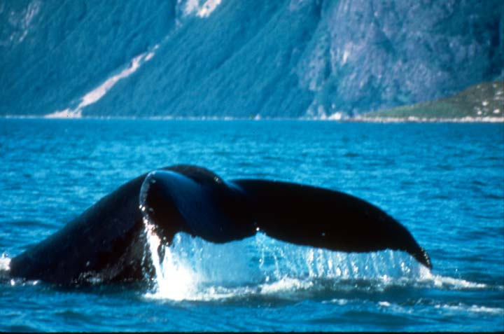 A close-up of a whale fluke, surrounded by blue water.
