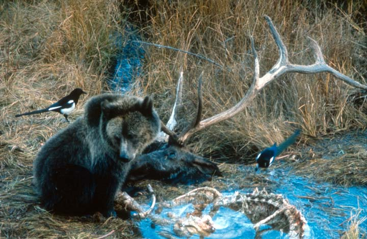 A brown bear feeding on the carcas of a large bull elk, with the company of two black and white birds.