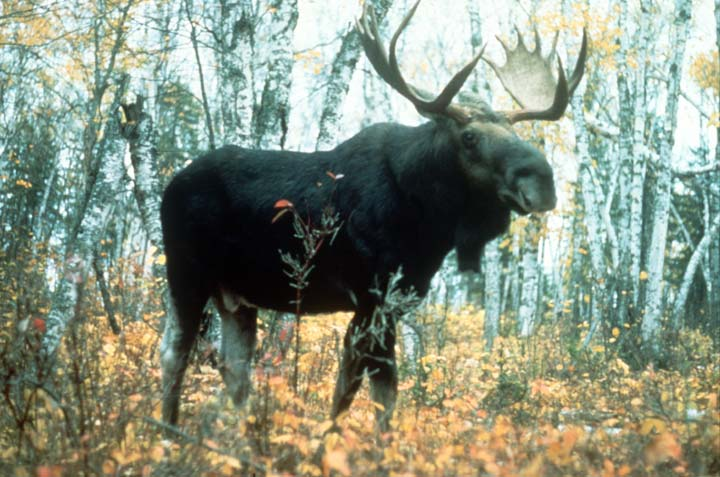 A bull moose with massive antlers, standing in an open forest, in golden autumn color.